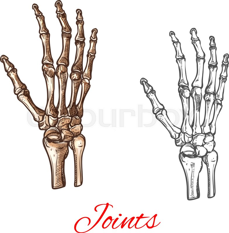784x800 Human Hand Bones And Joints Skeleton Vector Sketch Body Anatomy