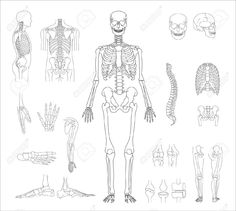 236x211 Human Skeleton Vector Beautiful Things Human