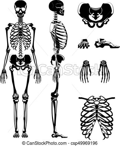 385x470 Vector Silhouette Of Human Skeleton. Anatomy Pictures. Different