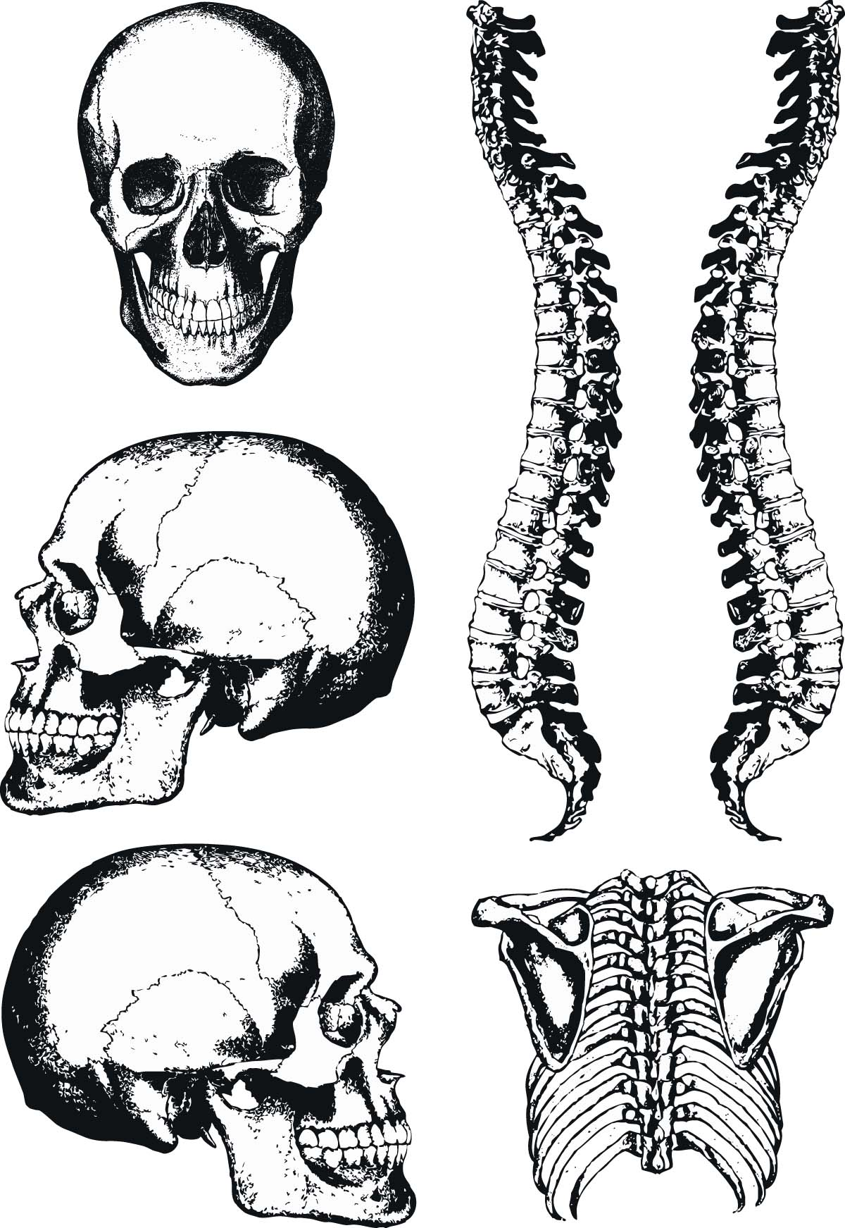 1200x1743 Human Anatomy Graphic Skull And Spine Vector Free Download