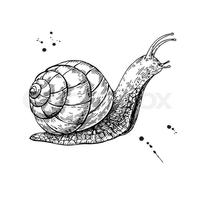 800x800 Snail Vector Drawing. Hand Drawn Isolated Sketch. Engraved Animal