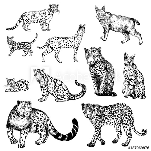 500x500 Hand Drawn Sketch Style Clouded Leopard, Bengal Cat, Leopard