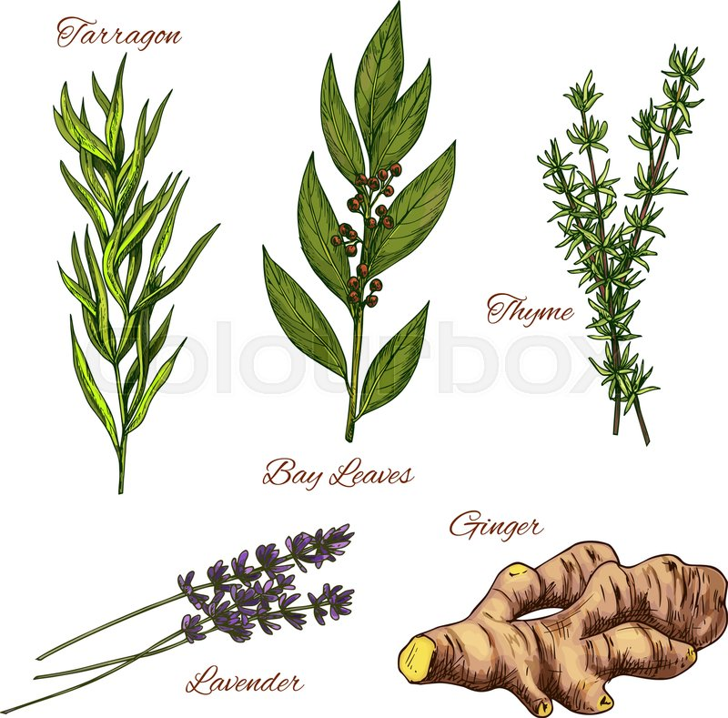 800x789 Herbs And Spices Vector Isolated Icons Set. Spicy Tarragon Plant