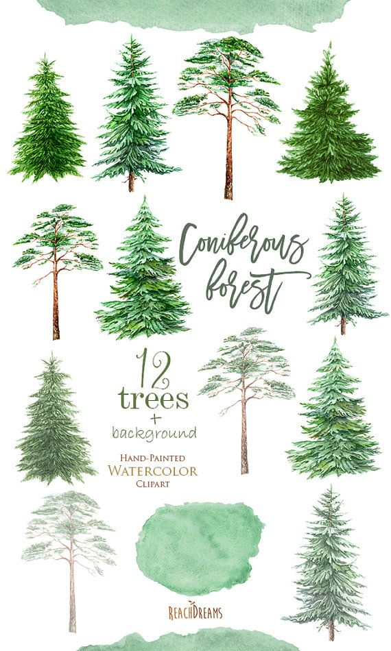 570x950 Watercolor Clipart Spruce Pine Conifer Trees Forest Wood Pine Tree