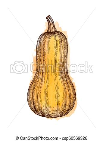342x470 Ink Sketch Of Butternut Squash Isolated On White Background. Hand