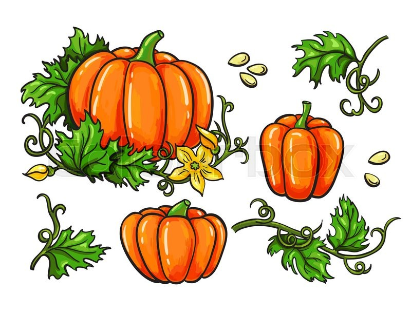 800x614 Pumpkin Vector Drawing Set. Isolated Hand Drawn Vegetable, Plant