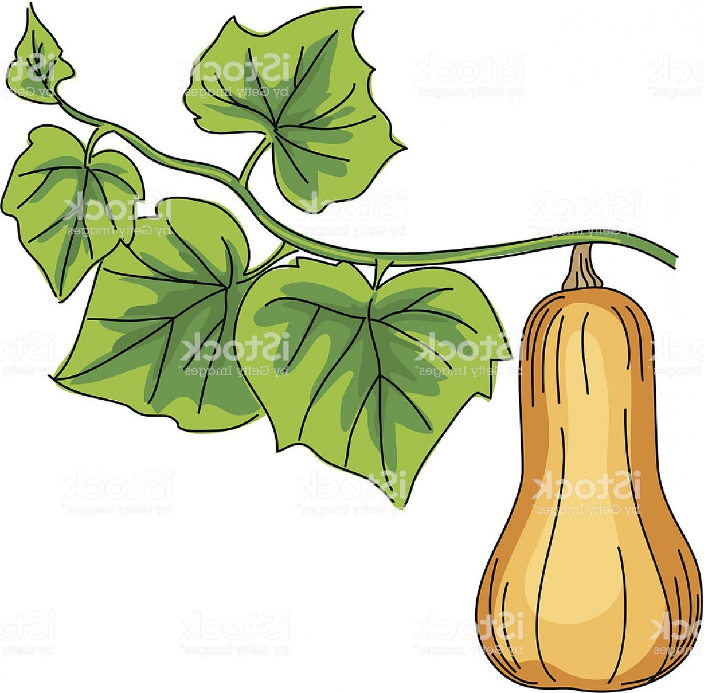 1228x1209 Cartoon Butternut Squash Vector Illustration Gm Rongholland