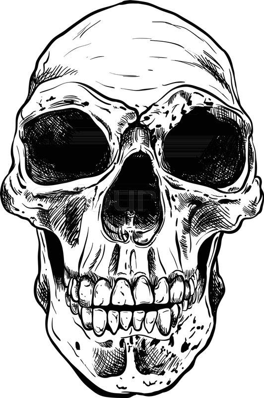 532x800 Human Skull Vector Art. Detailed Hand Drawn Illustration Of Skull