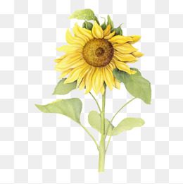 260x261 Sunflower Illustration Png Images Vectors And Psd Files Free