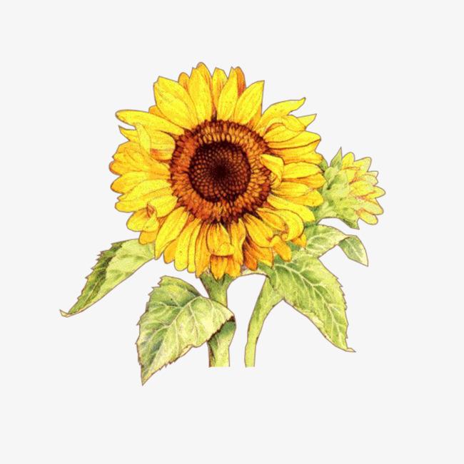 650x651 Sunflower Vector Illustration, Plant, Sunflower, Illustration Png