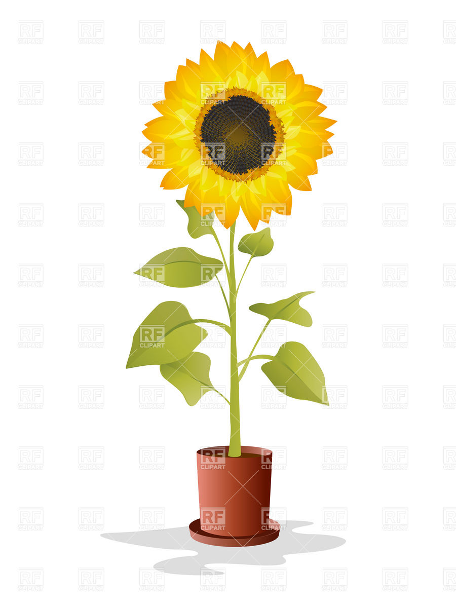 900x1200 Sunflower In The Pot Vector Image Vector Artwork Of Plants And