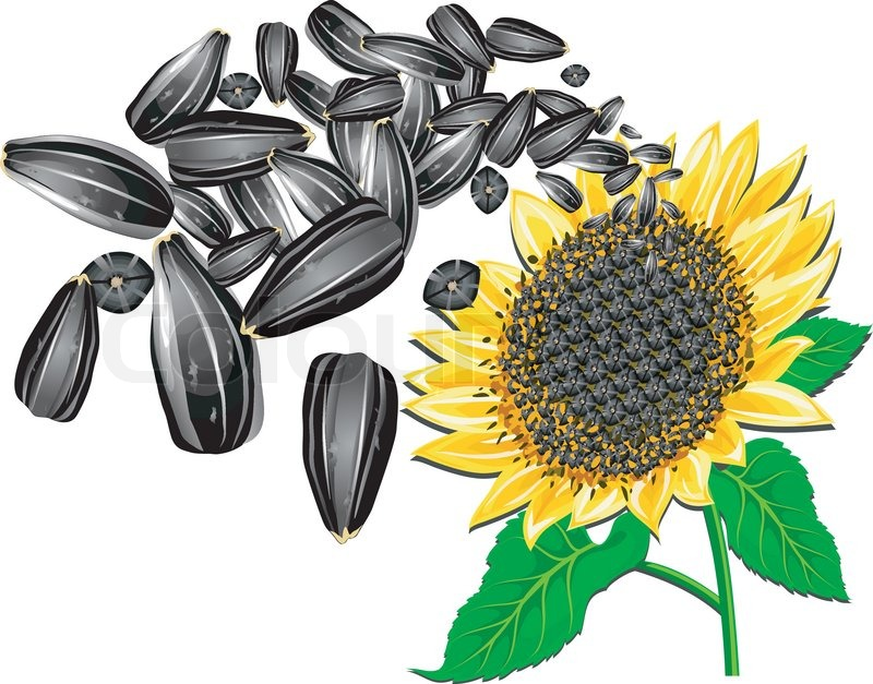 800x627 Sunflower Seeds And Beautiful Flower On A White Background, Vector