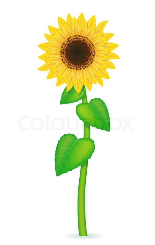 506x800 Sunflower Vector Illustration Isolated On White Background Stock