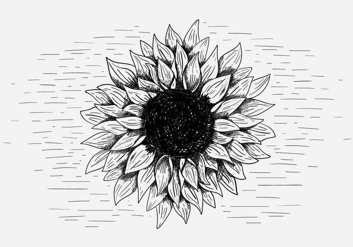 700x490 Vector Sunflower Illustration