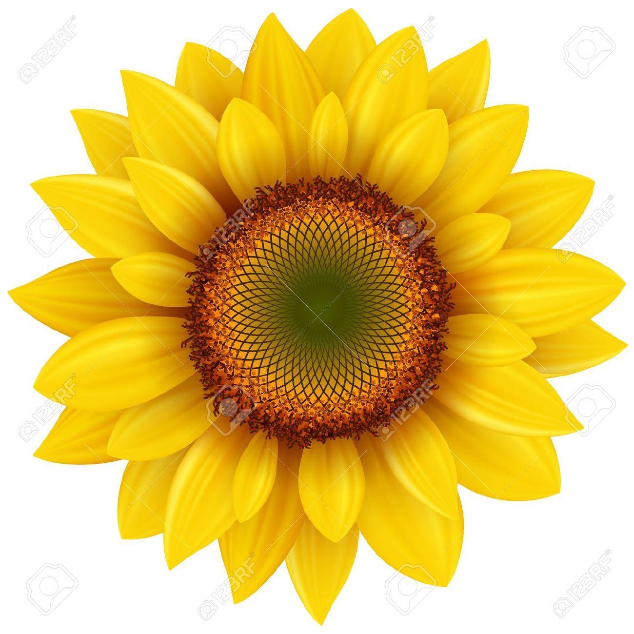 1300x1300 Vector Sunflower, Realistic Illustration In 2018 Tattoo Ideas