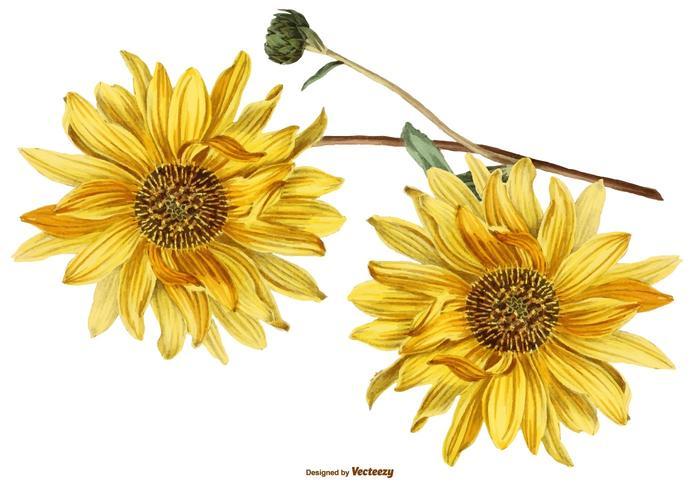 700x490 Vintage Sunflower Illustrations