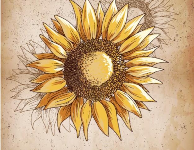 626x486 Retro Sunflower Illustration Vector Free Download