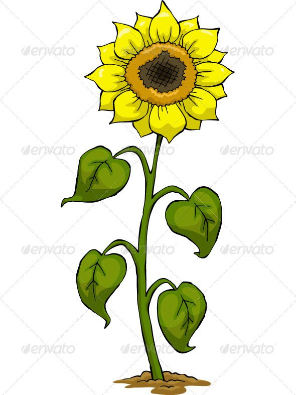590x787 Sunflower Fonts Logos Icons Herbs Illustration