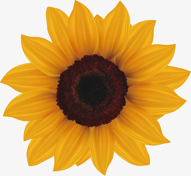 650x598 Painted Sunflowers Mature, Hand Painted, Sunflower, Vector Png And