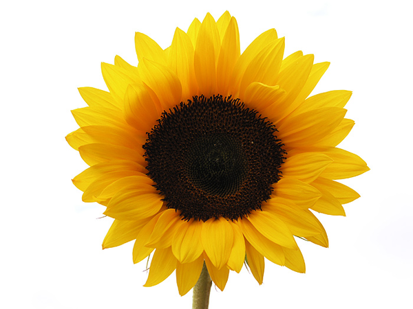 600x450 Sunflower Free Images