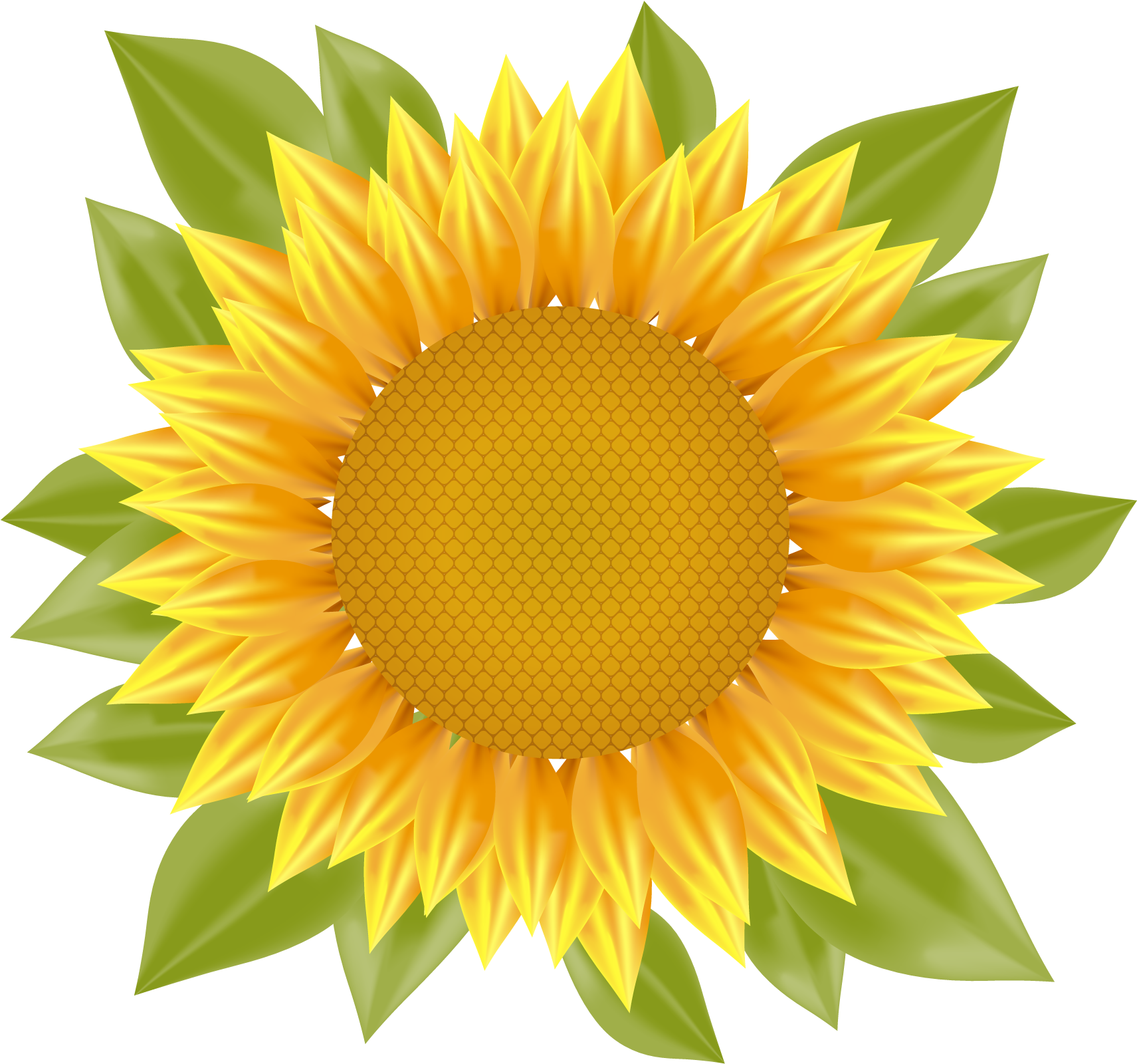 1711x1600 Common Sunflower