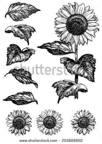 333x470 Sunflower. Vector Set Of Hand Drawn Sunflowers And Leaves Isolated