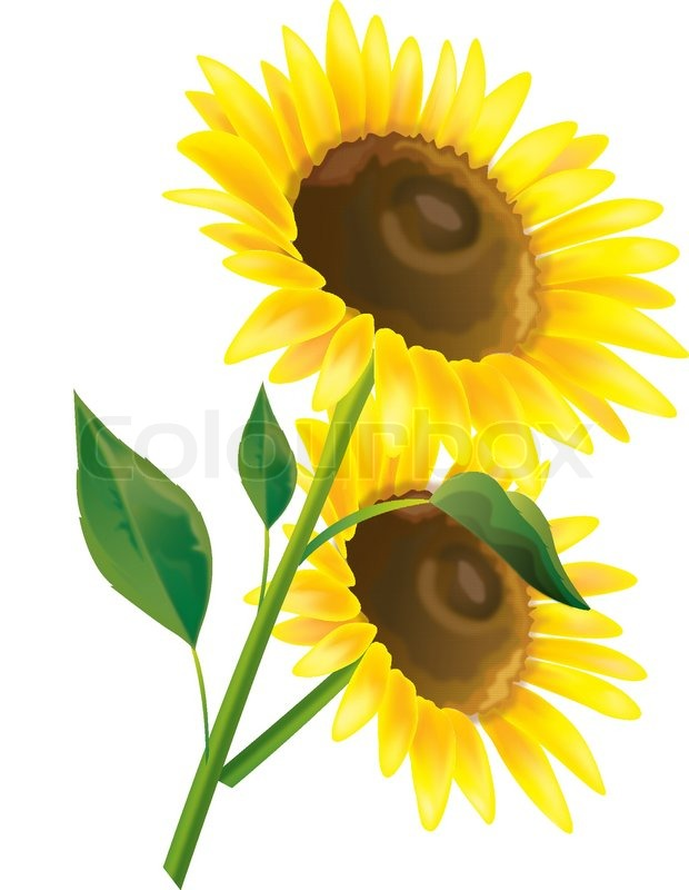 620x800 Sunflower Vector Flower Stock Vector Colourbox