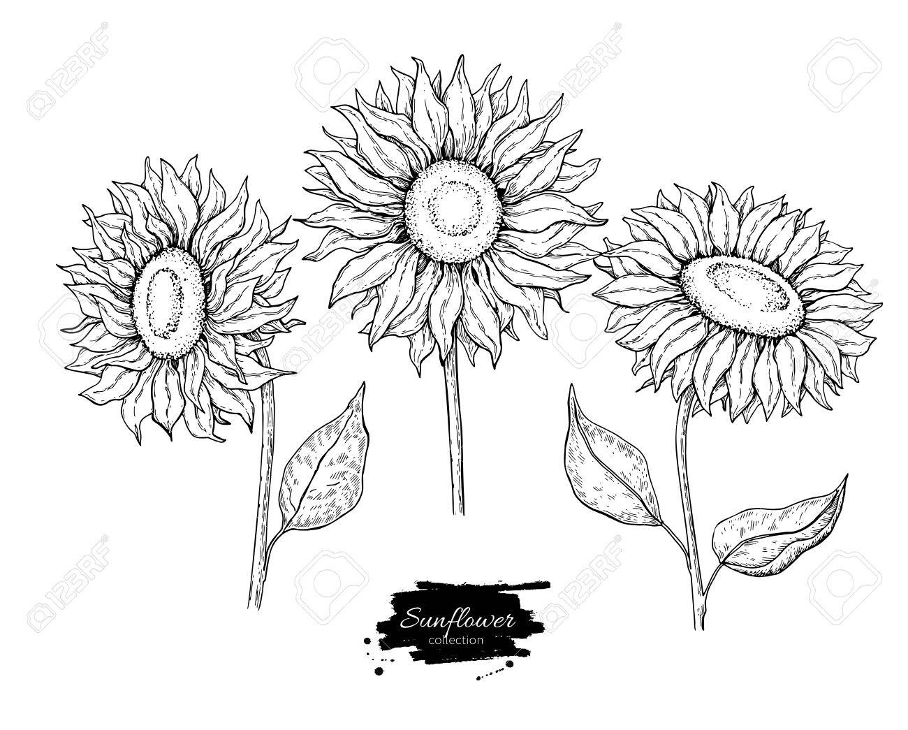 1300x1045 Drawn Sunflower Vector 3455216