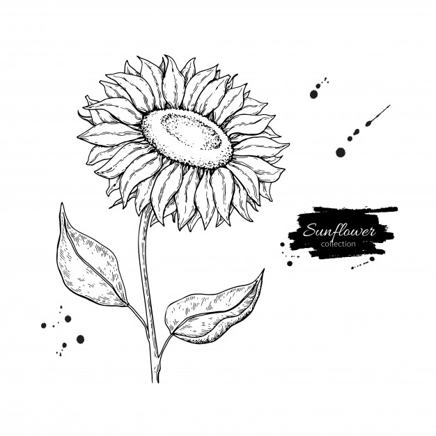 626x626 Sunflower Vectors, Photos And Psd Files Free Download