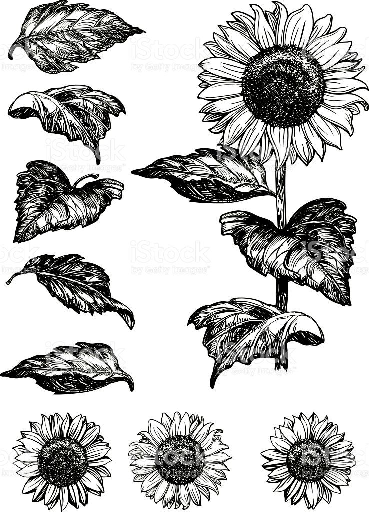 739x1024 Vector Set Of Hand Drawn Sunflowers And Leaves Isolated On White