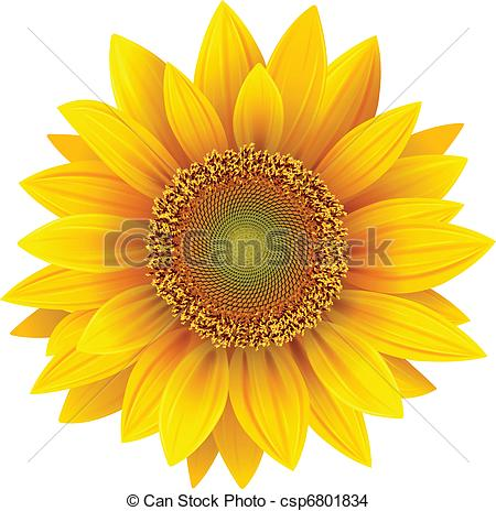 450x464 Vector Sunflower, Realistic Illustration. Eps Vector
