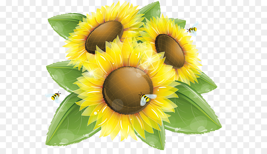 900x520 Common Sunflower Vector Graphics Clip Art Illustration Image