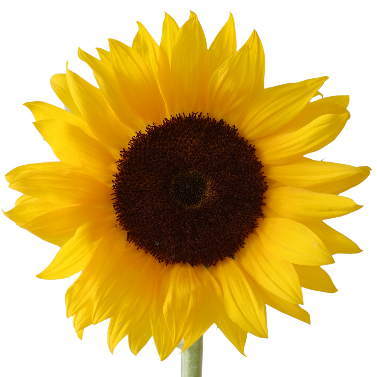 1200x1200 Icon Free Download Sunflower Vectors