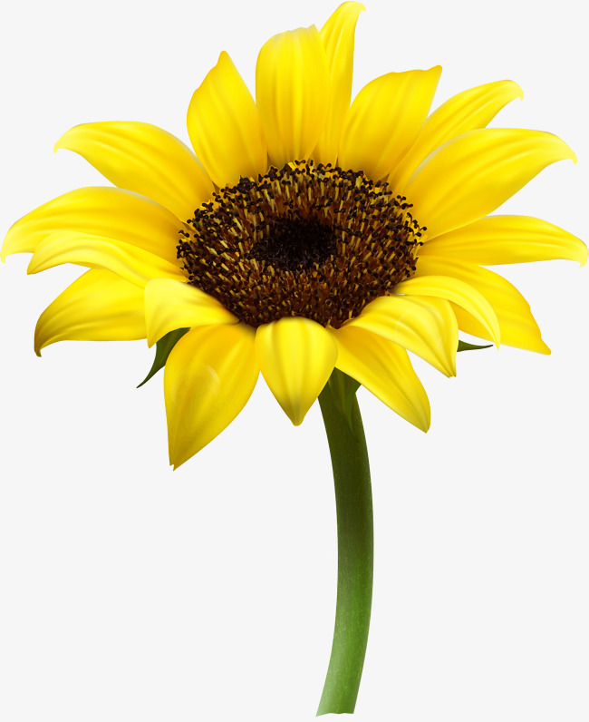 650x796 Sunflower Vectors, 983 Graphic Resources For Free Download