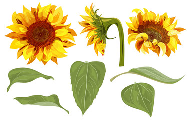 373x240 Sunflower Watercolor Photos, Royalty Free Images, Graphics