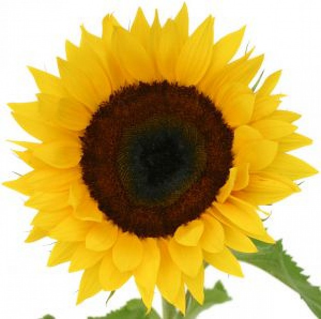 626x621 Yellow Sunflower Vector Photo Free Download