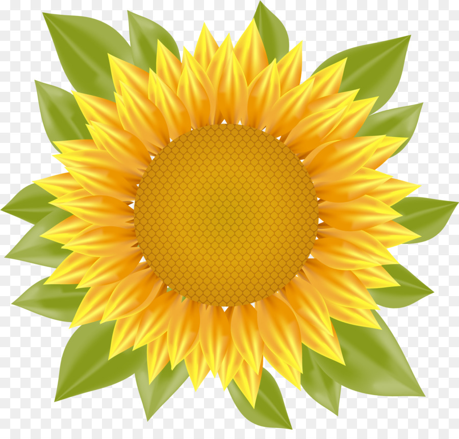 900x860 Common Sunflower