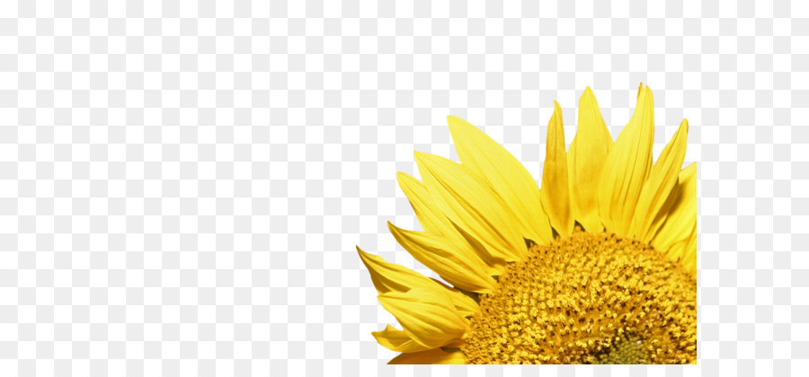 900x420 Common Sunflower Clip Art