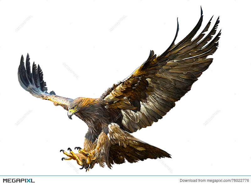 800x590 Golden Eagle Flying Swoop Hand Draw Vector. Illustration 78022776