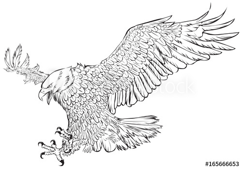 500x350 Bald Eagle Swoop Hand Draw Monochrome On White Background Vector