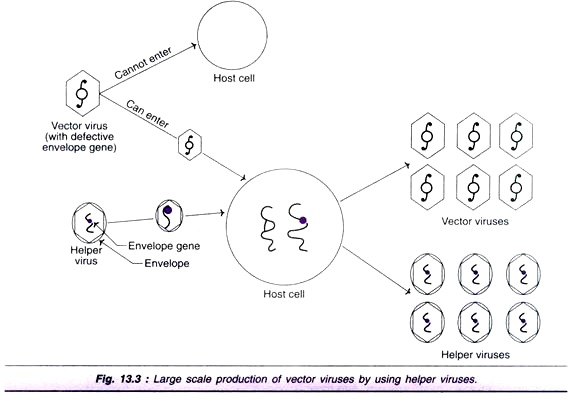 574x402 Gene Therapy Ex Vivo And In Vivo Gene Therapy (With Diagram)