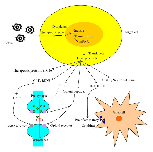 600x593 Possible Mechanisms Of Viral Vector Actions In Gene Therapy Of