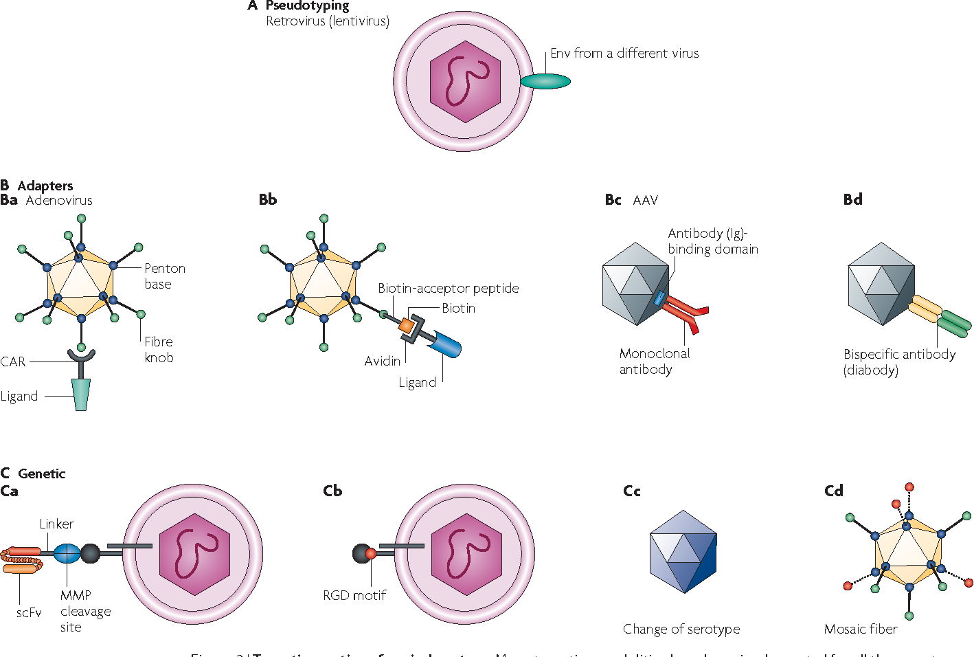 1418x956 Engineering Targeted Viral Vectors For Gene Therapy