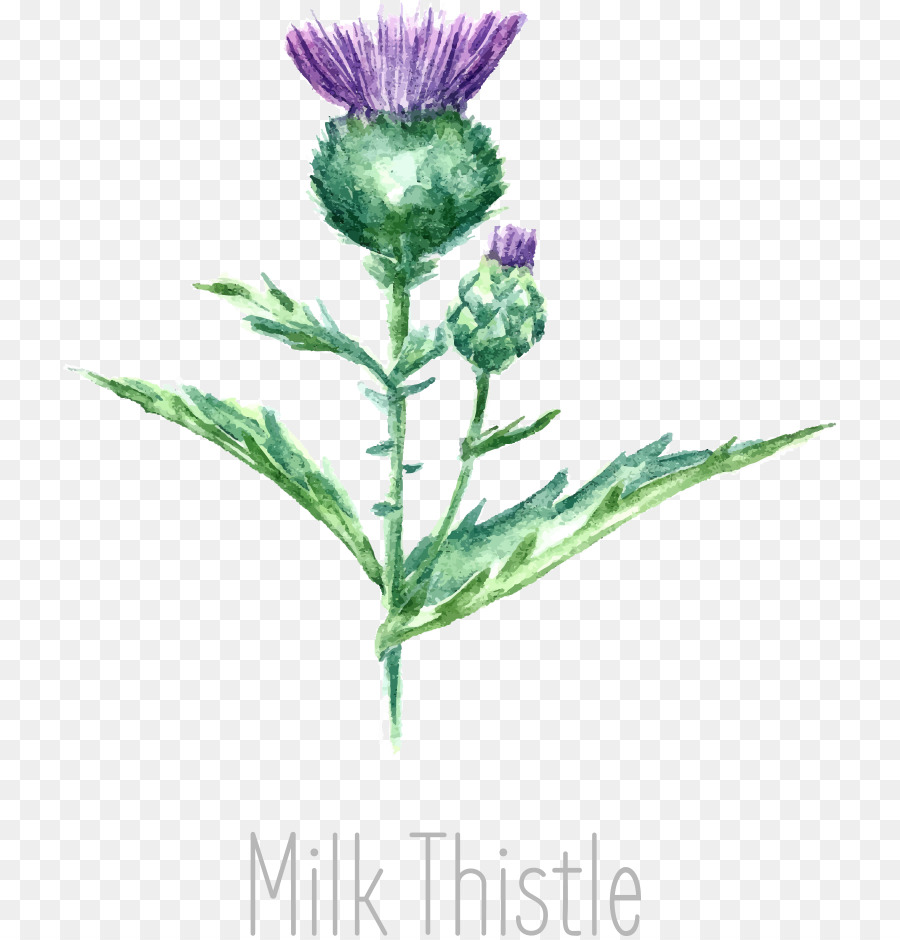 900x940 Drawing Milk Thistle Watercolor Painting
