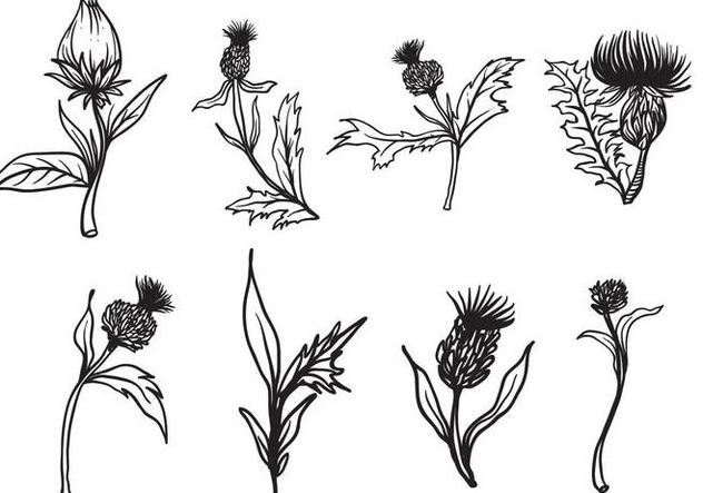 632x443 Free Hand Drawn Thistle Vector Free Vector Download 406707 Cannypic