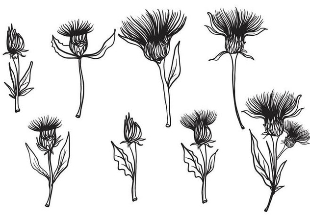 632x443 Free Hand Drawn Thistle Vector Free Vector Download 406709 Cannypic