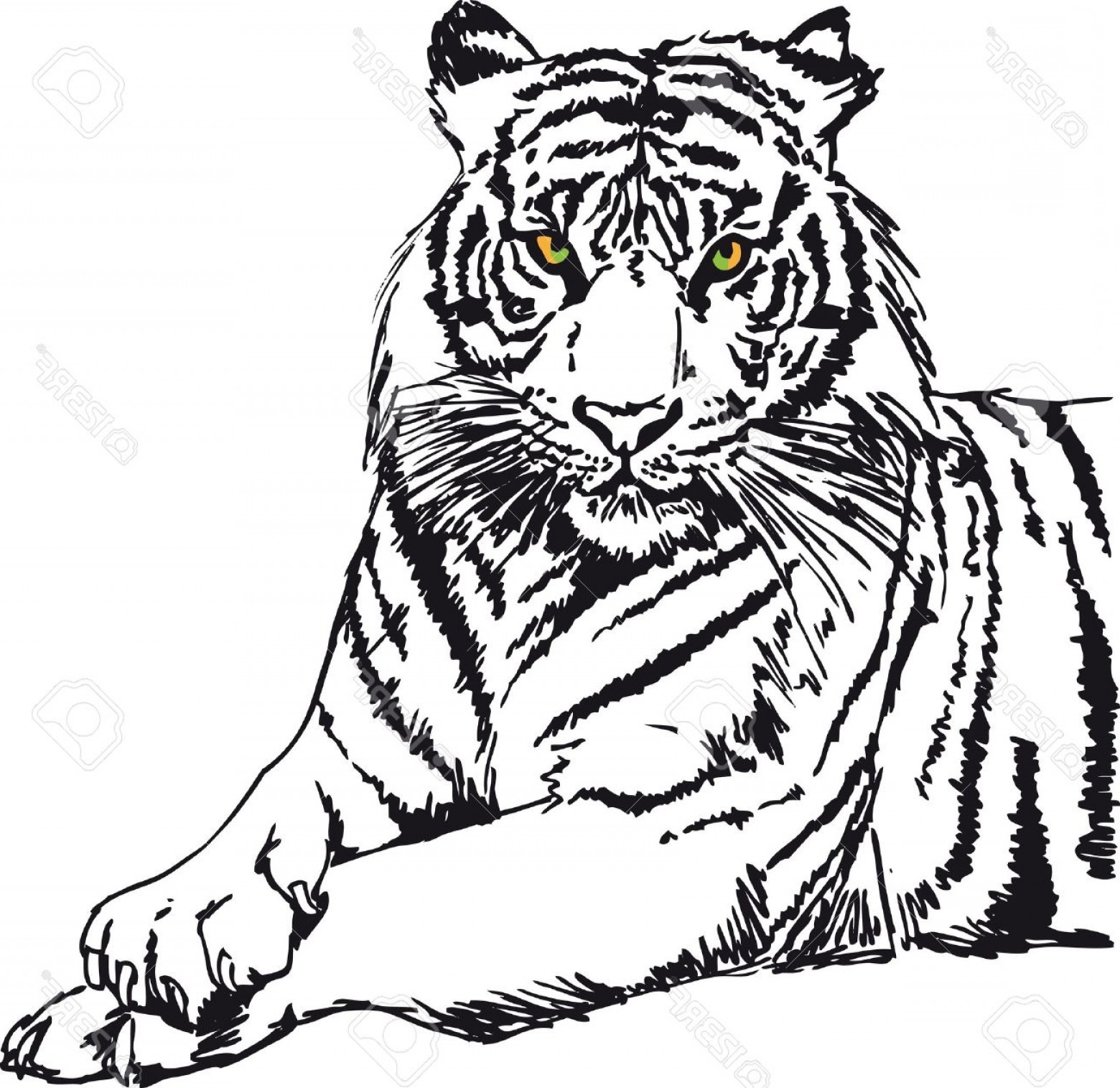 1560x1515 Photosketch Of White Tiger Vector Illustration Sohadacouri