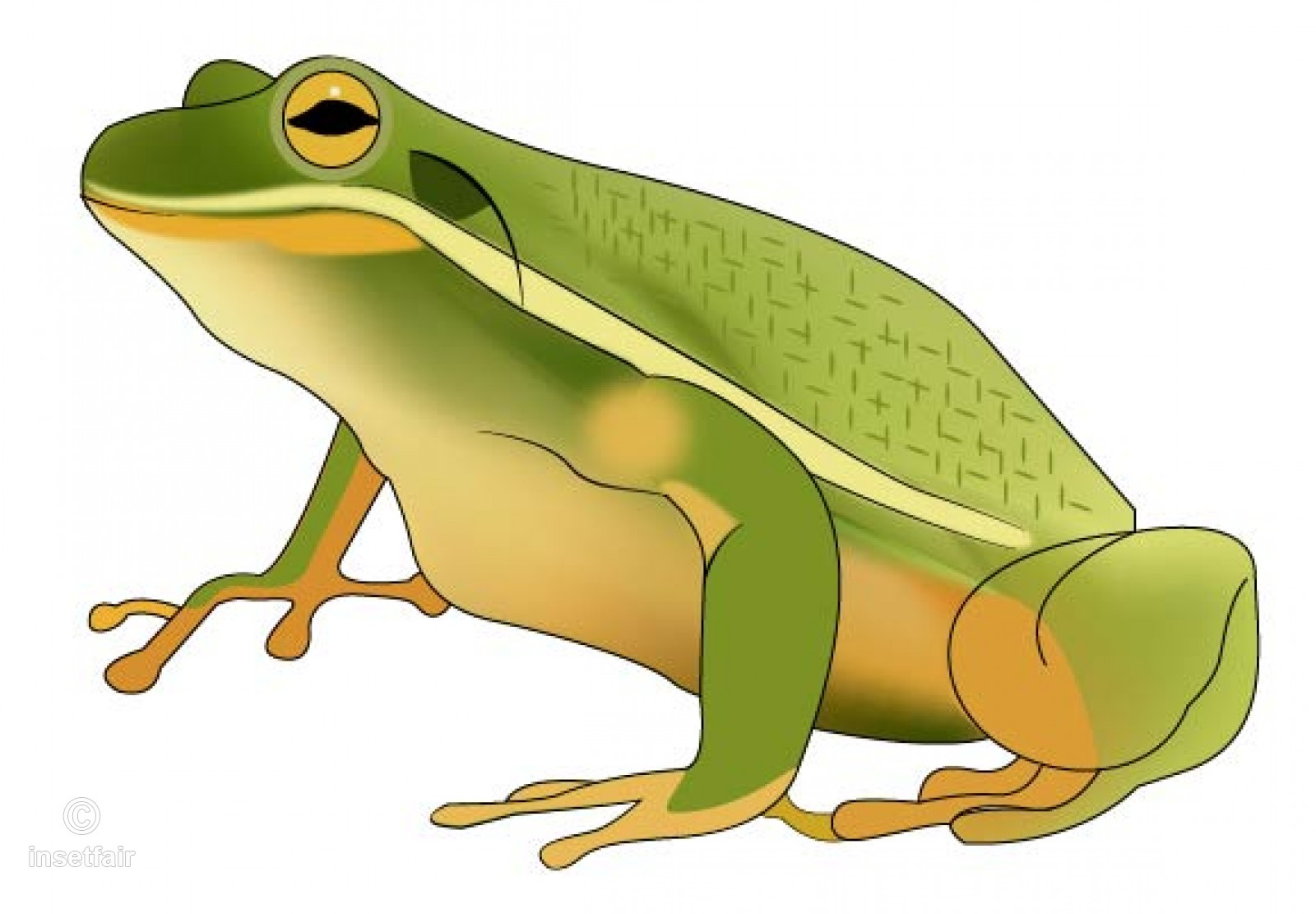 1600x1111 Green Frog Vector Toad Illustration Stock Vector Image