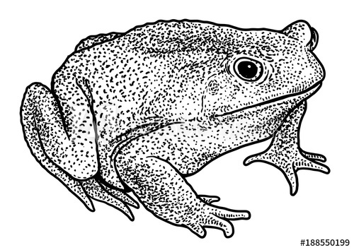 500x354 Cane Toad Illustration, Drawing, Engraving, Ink, Line Art, Vector