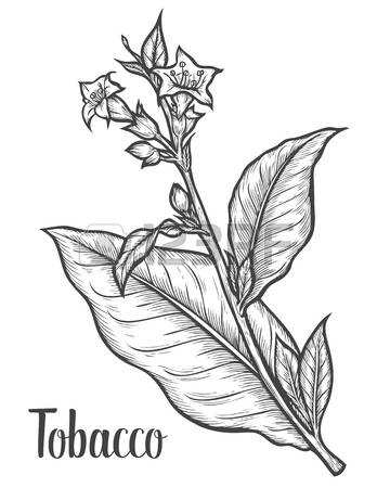360x450 Collection Of Tobacco Leaf Drawing High Quality, Free